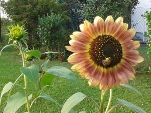 Diese Sonnenblumen haben es bis nach Köln geschafft und begeistern die dortigen Hummeln.